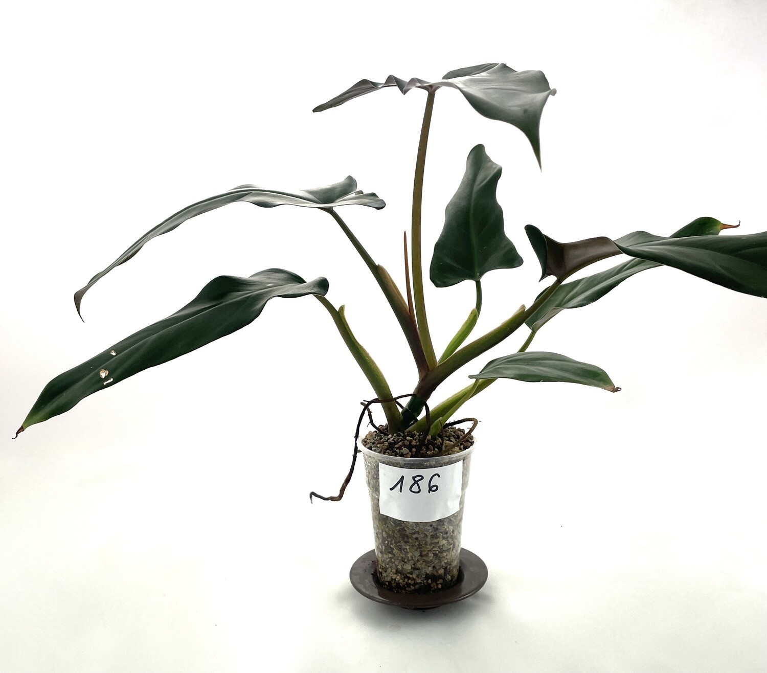 Philodendron mexicanum nr 186 DUŻA