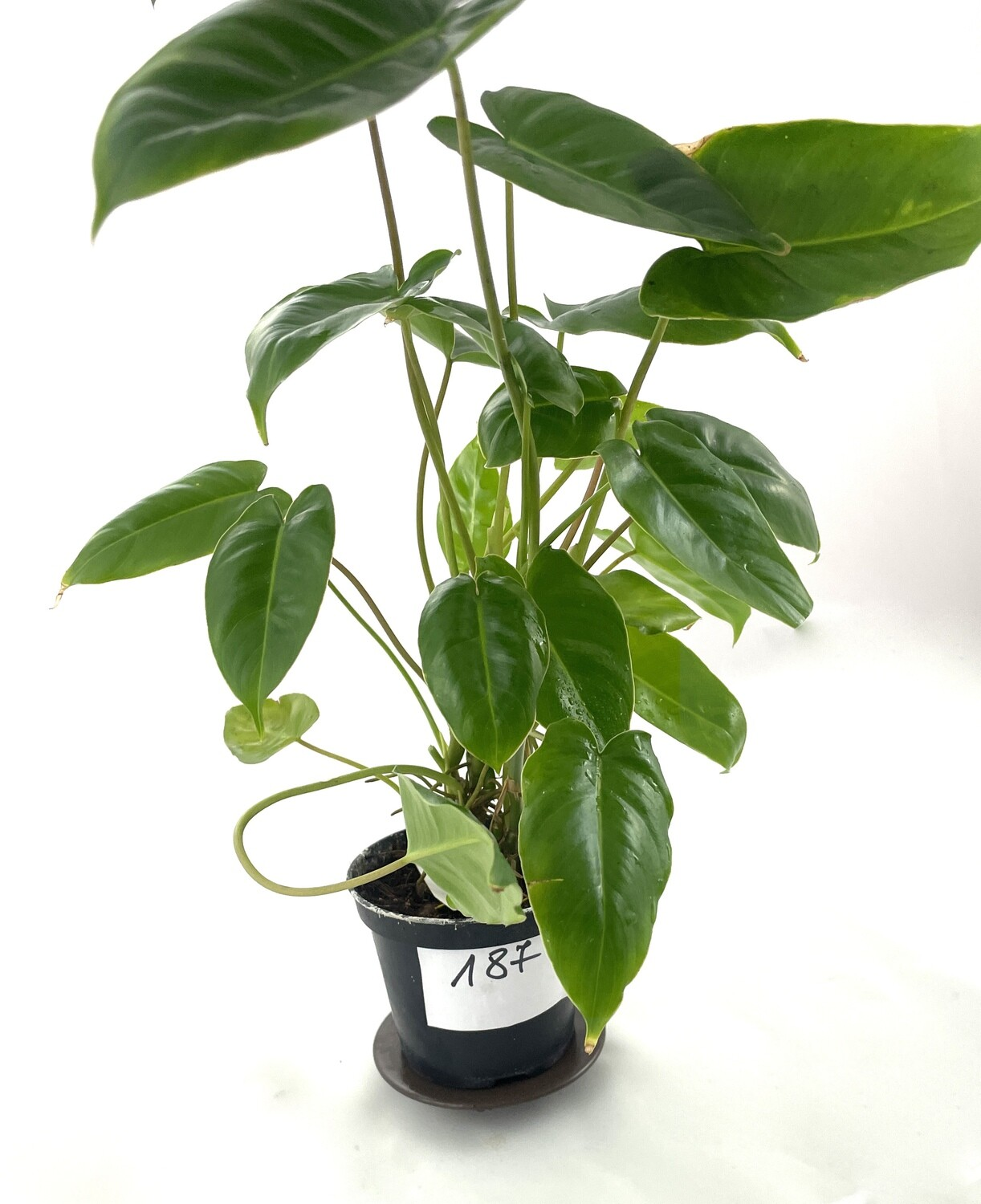 Philodendron burle marx green nr 187