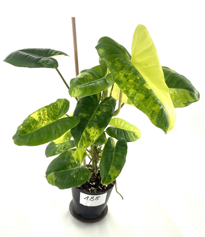 Philodendron burle marx variegata cięty węzeł z liściem