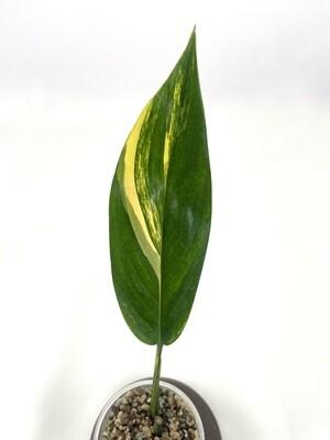 Epipremnum Amplissimum variegata nr 194
