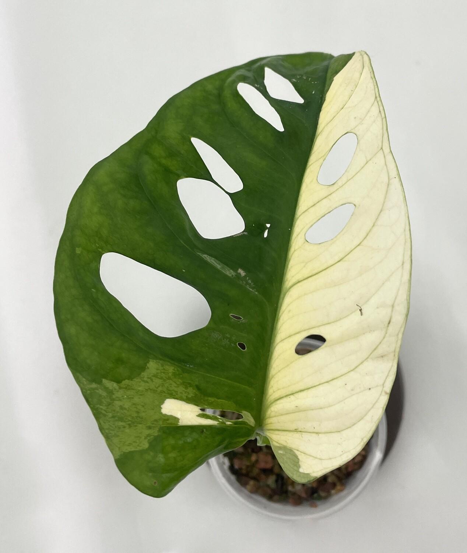 Monstera adansonii variegata nr 204