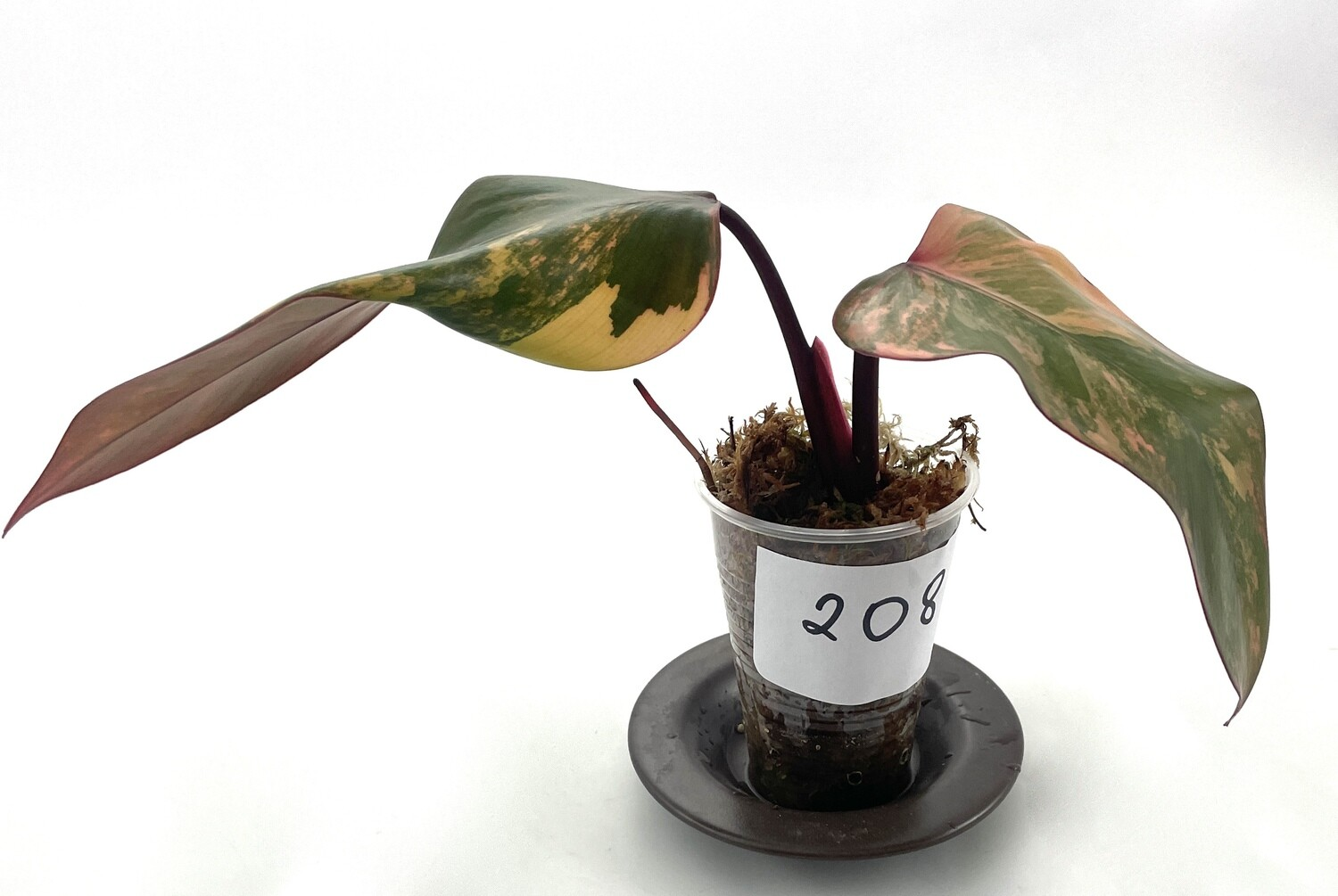 Philodendron Strawberry Shake nr 208