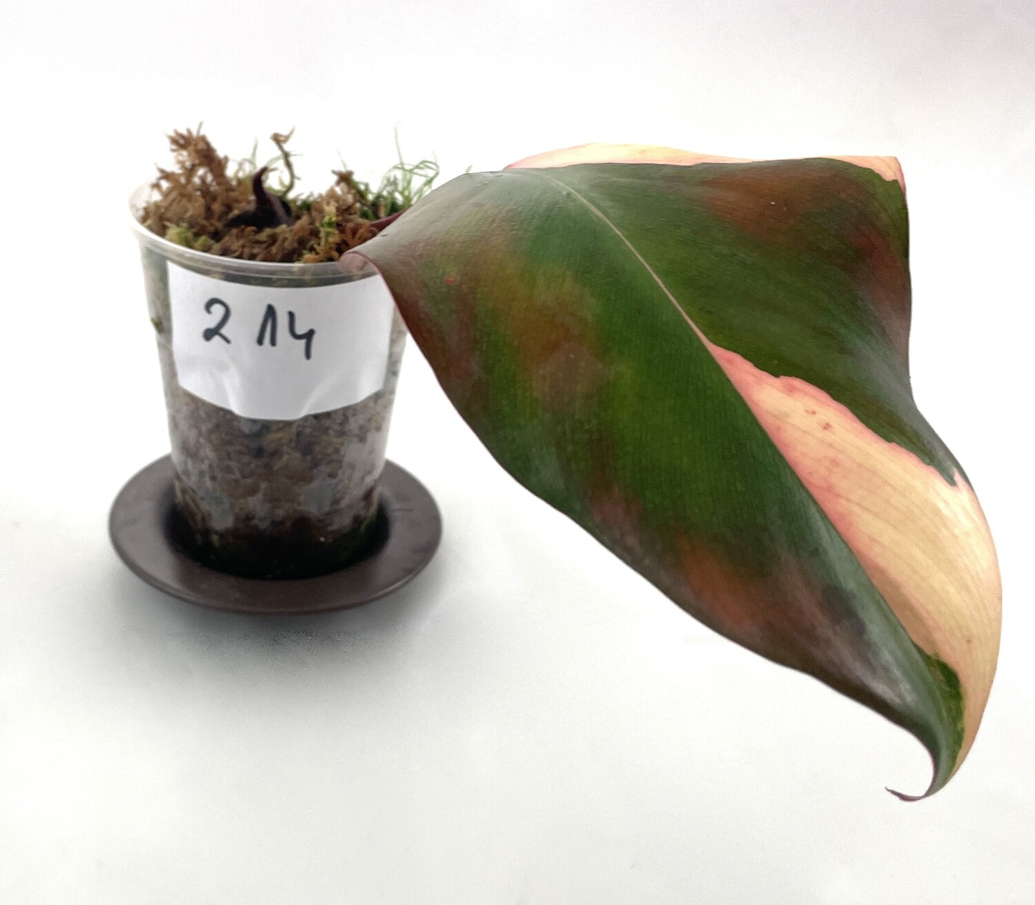Philodendron Strawberry Shake nr 214