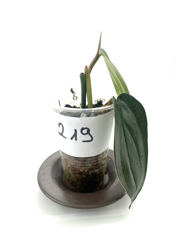 Philodendron burle marx fantasy nr 219
