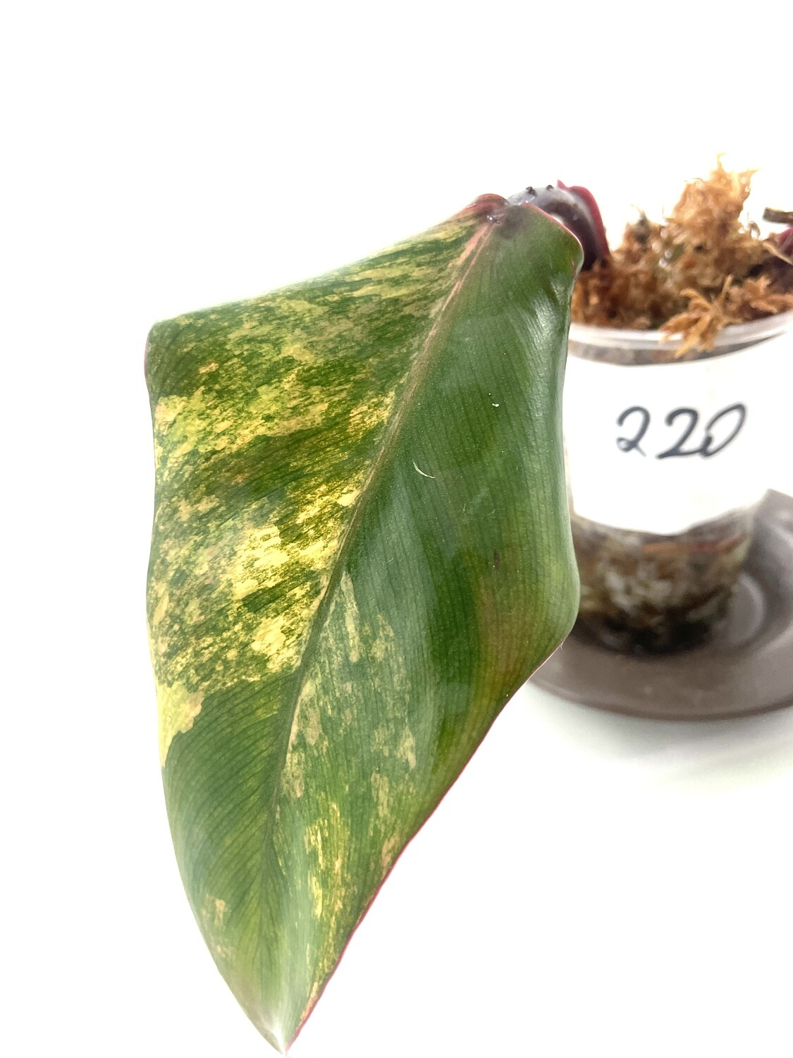 Philodendron Strawberry Shake nr 220