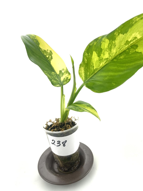 Philodendron domesticum variegata Siam Sunrise nr 238