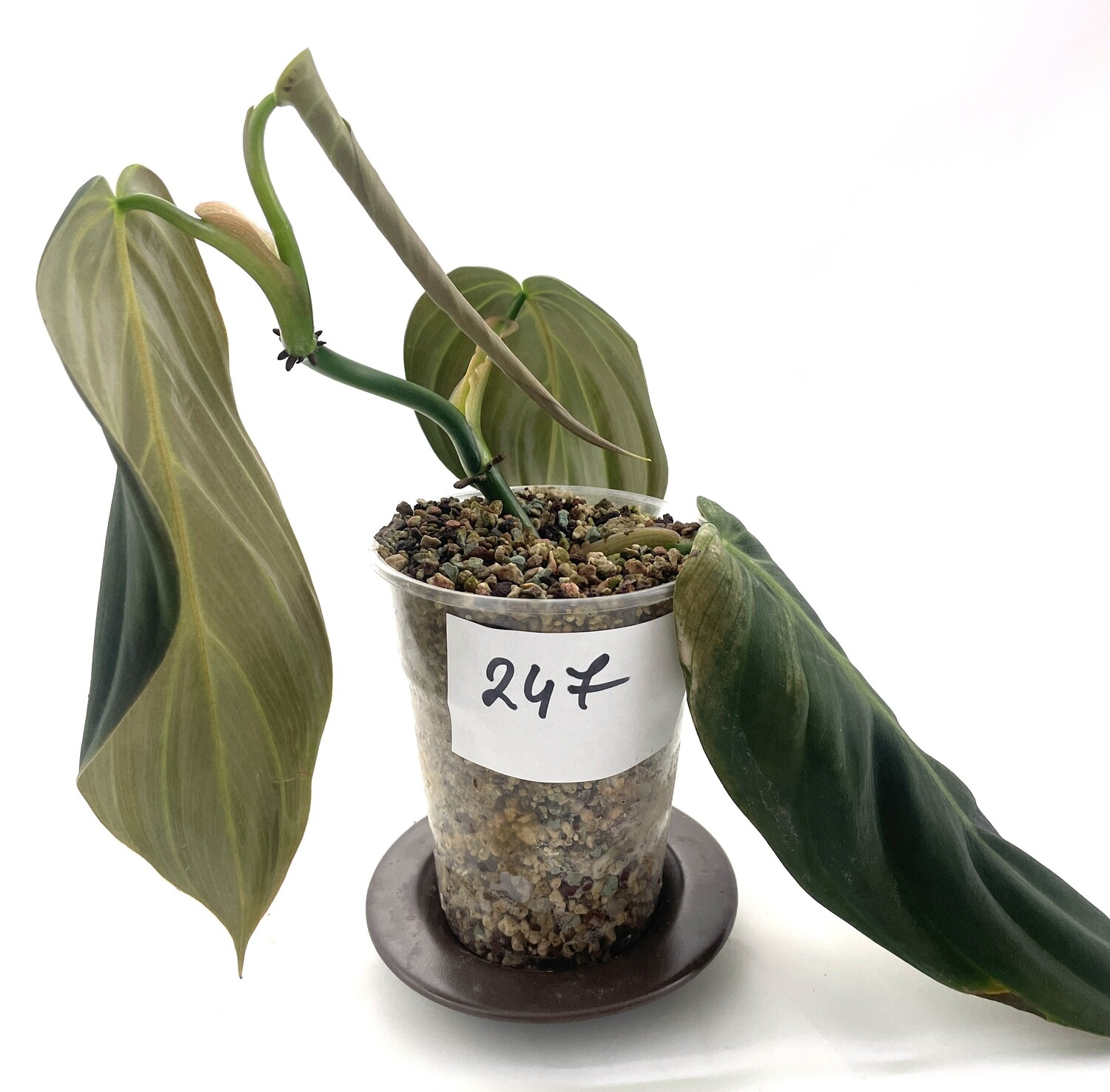 Philodendron gigas nr 247