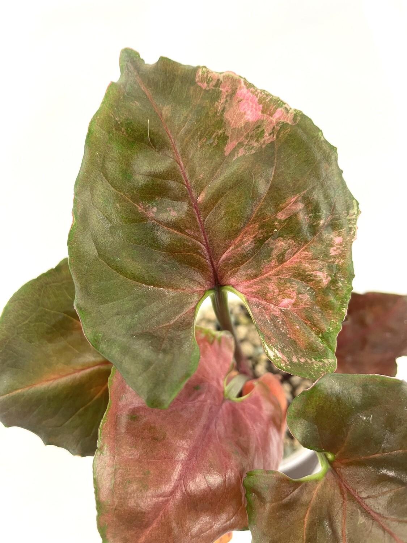 Syngonium Strawberry Ice nr 254
