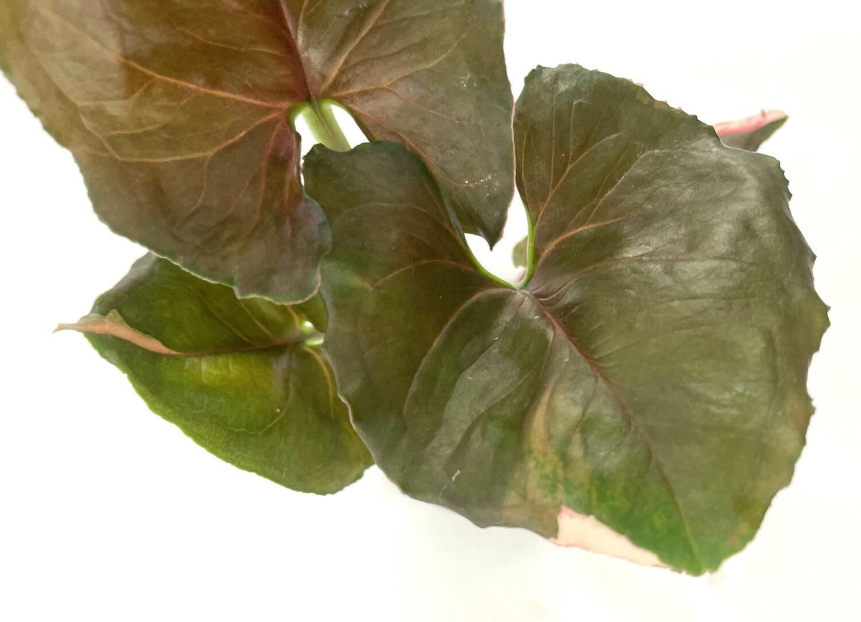 Syngonium Strawberry Ice nr 267