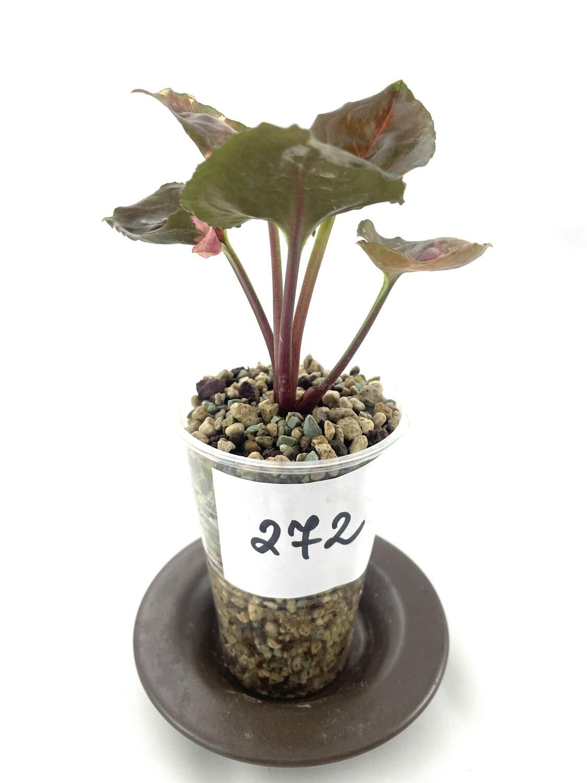 Syngonium Strawberry Ice nr 272