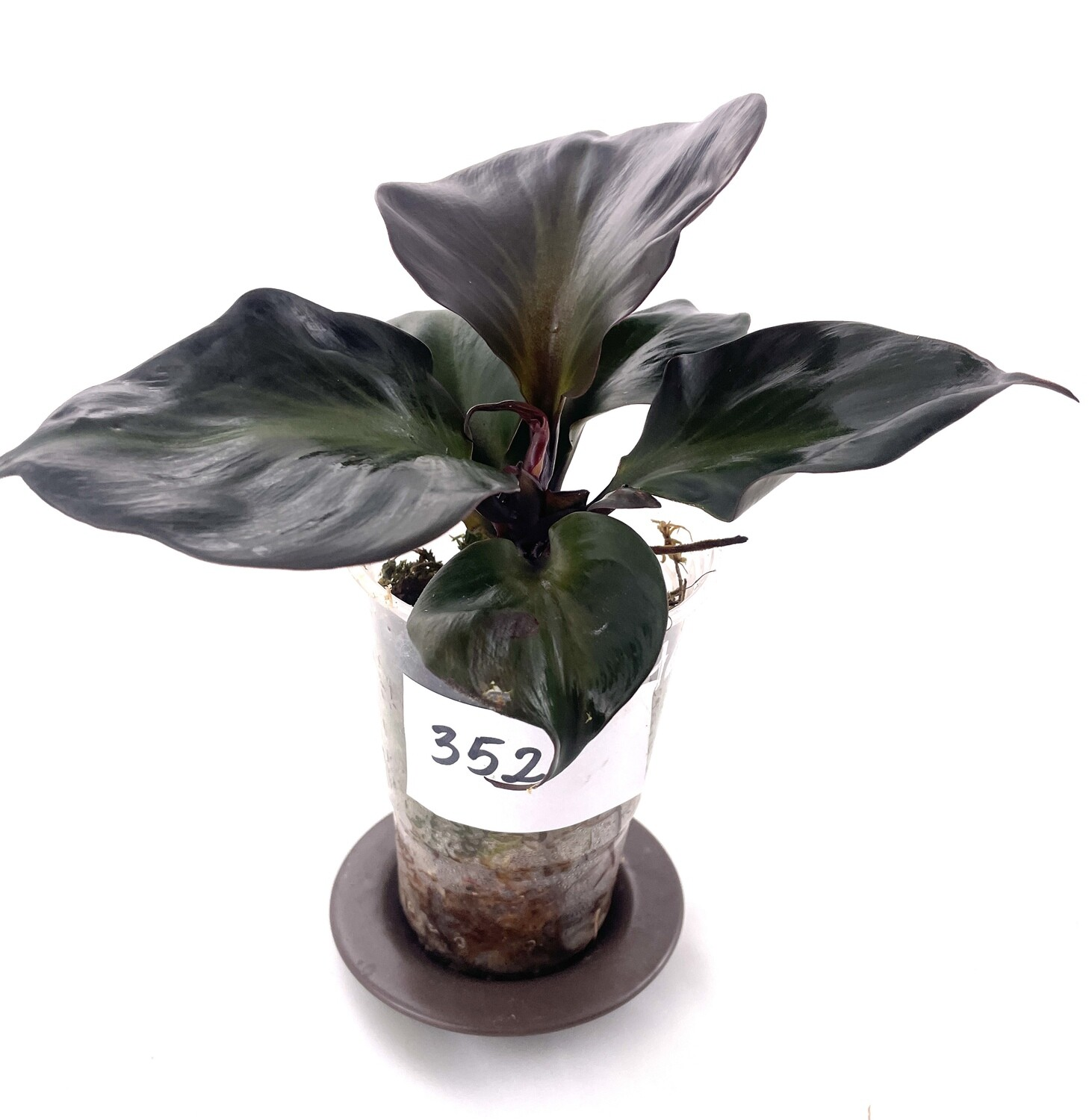 Philodendron Red Heart Twist nr 352