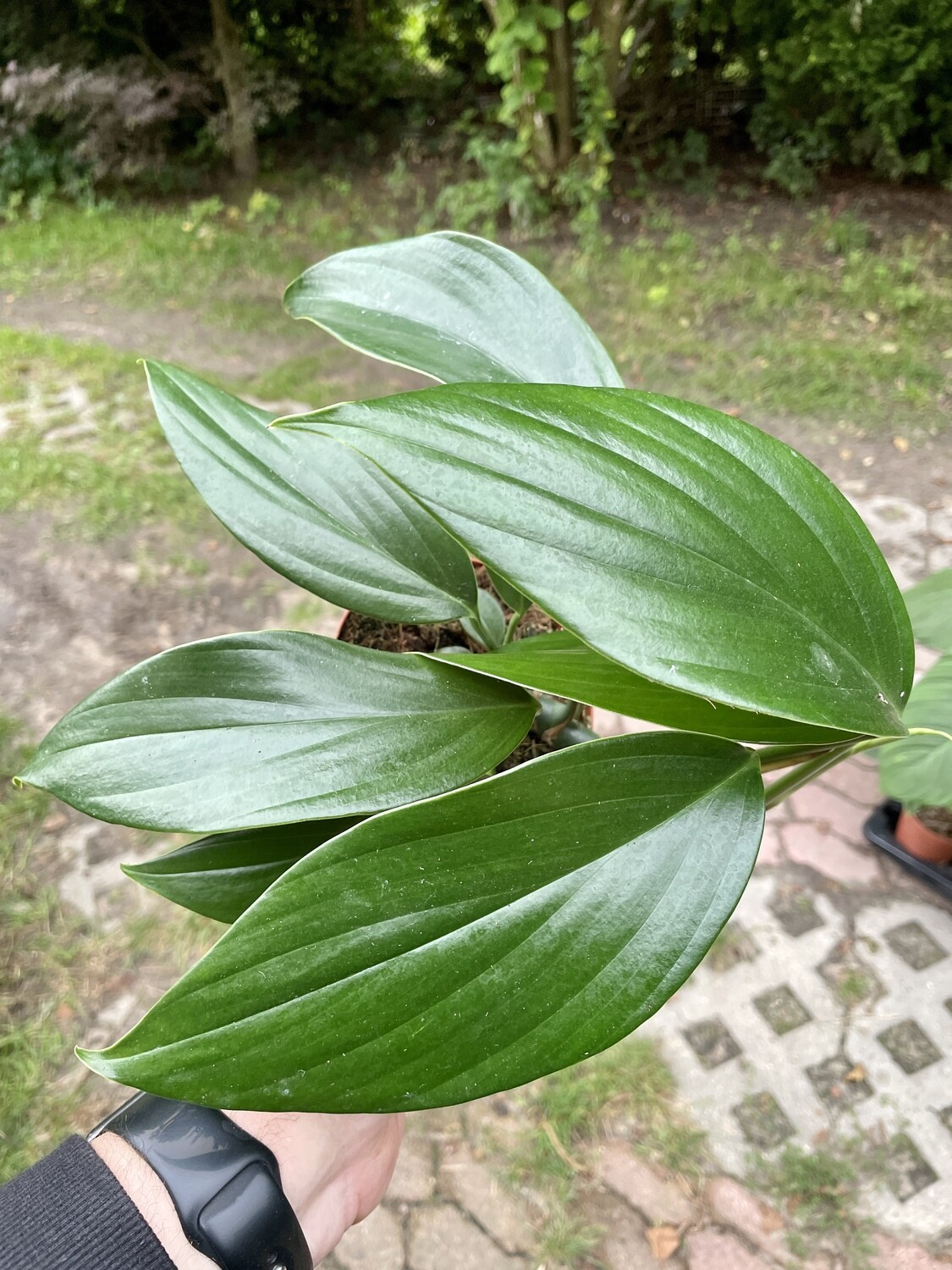 Philodendron Kylin Tail XL