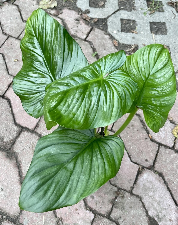 Philodendron plowmanii XL