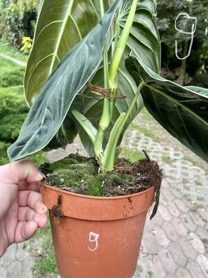 Philodendron melanochrystum BIG LEAF nr 9