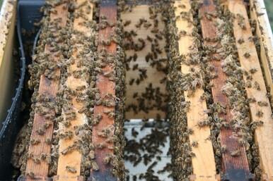 Virtual Hive Tour & Beekeeping Q&A