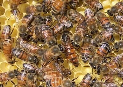 2021 BeeWeaver Queen  - Immediate Pick Up (Navasota)