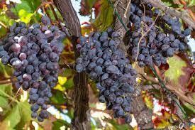 Table Grape Production - Online course