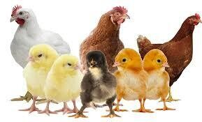 AS Course Poultry, Broiler & Layer (3 days)