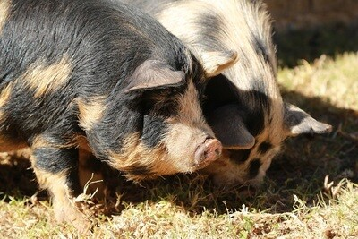 AS Course Pig Production (3 days)