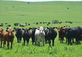 AS Course Beef Cattle Production (5 days)