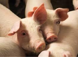 Pig Production - Online course