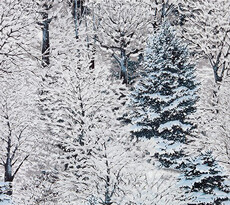 16914 Natures Window Snowy Trees Winter $32 per mt