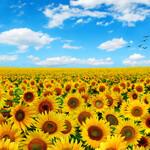 16138 Sunflowers Panel $30 per mt