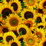 16139 Sunflowers $30 per mt