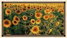 15327 Tuscan Sunflowers Panel $33.75 each