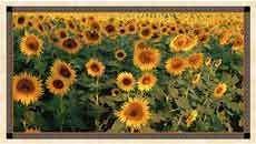 15327 Tuscan Sunflowers Panel $33.75 each