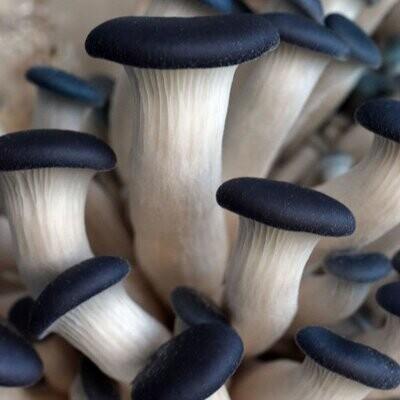 Oyster Mushroom Fruiting Block Grow Kit