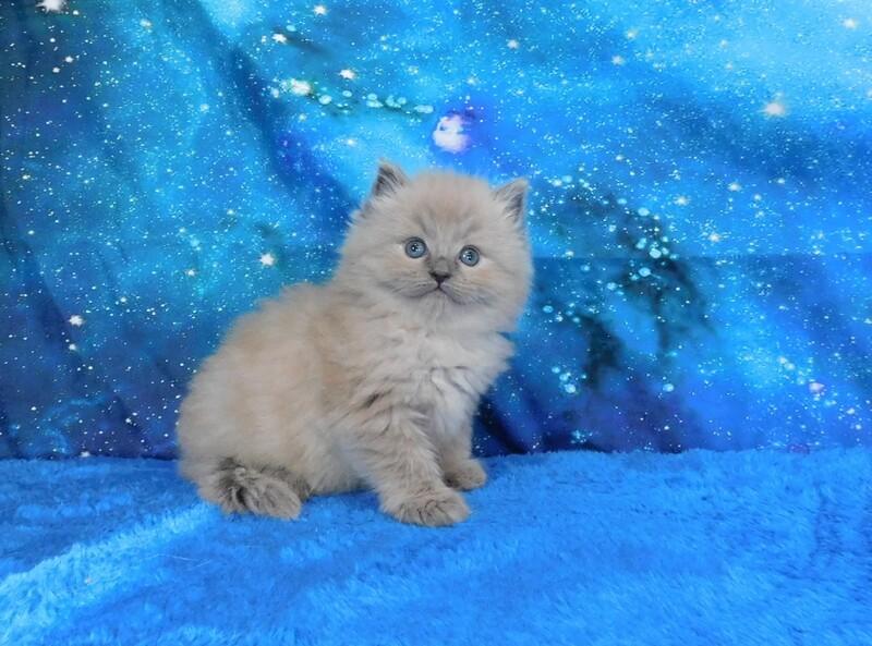 Hansen - Male Ragdoll Kitten
