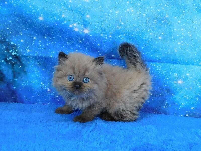 Ellie - Female Ragamuffin Kitten