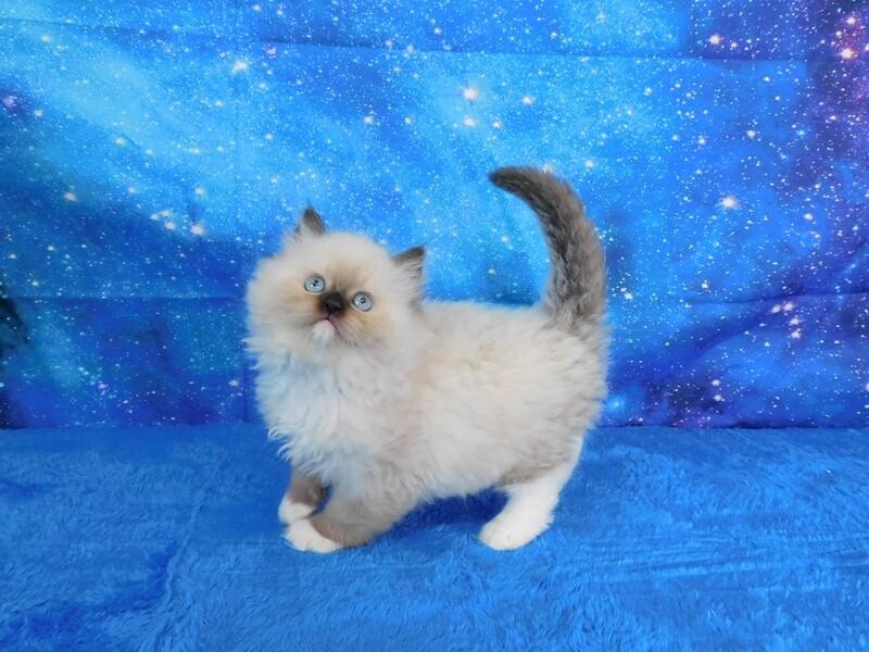 Cory - Male Ragdoll Kitten