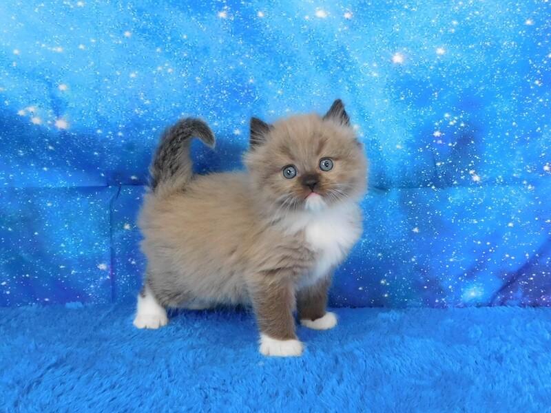 Emilio - Male Ragdoll Kitten