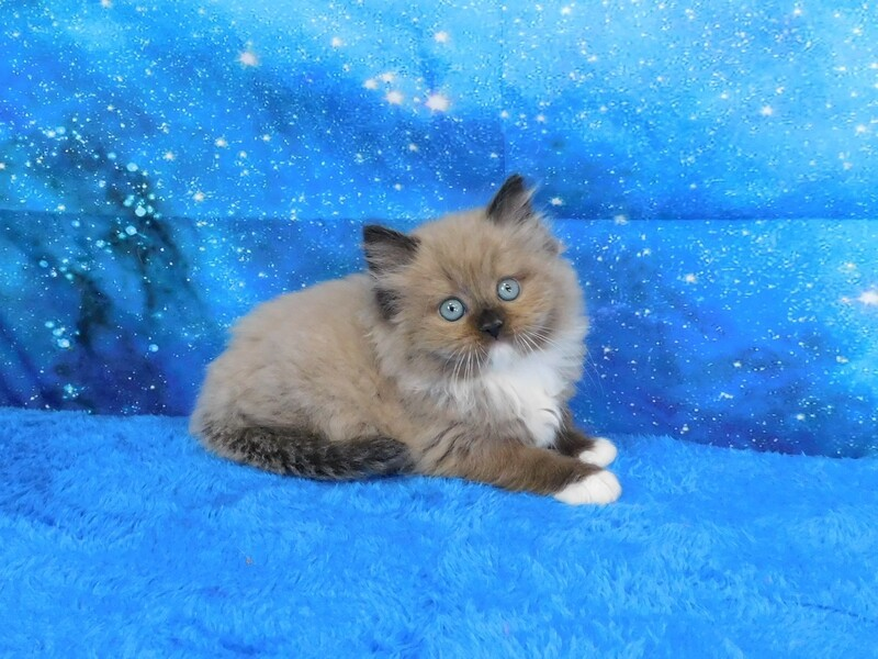 Felicity - Female Ragdoll Kitten