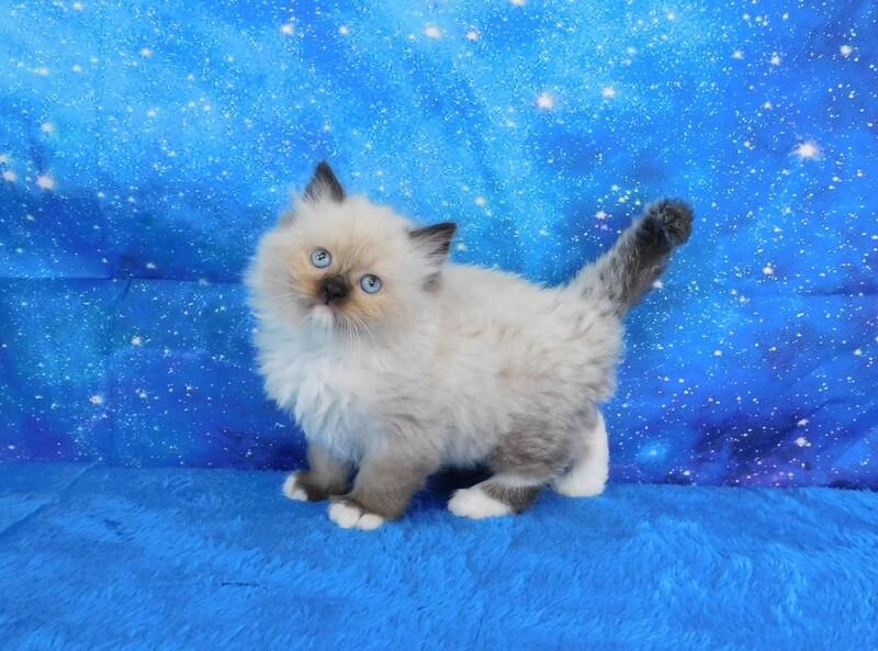 Giovanni - Male Ragdoll Kitten