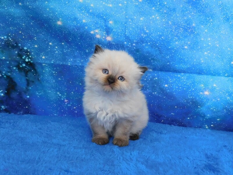 Hugo - Male Ragdoll Kitten