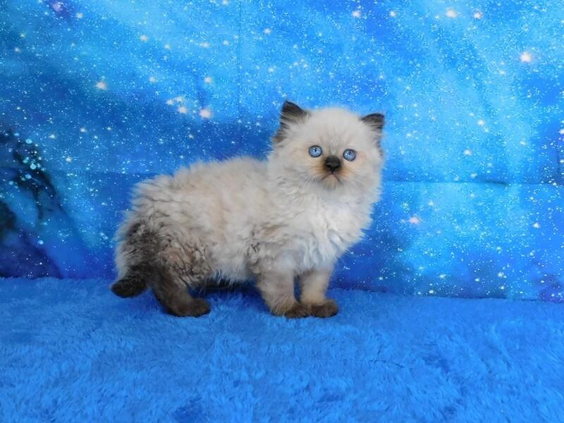 Kodiak - Male Ragdoll Kitten