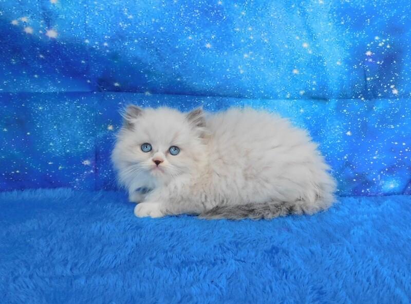 Mindy - Female Ragdoll Kitten
