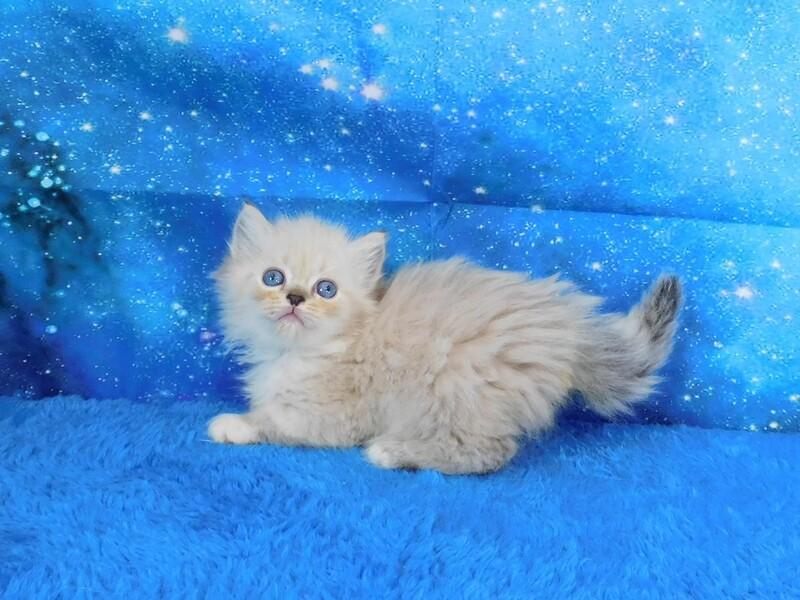 Lydia - Female Ragamuffin Kitten