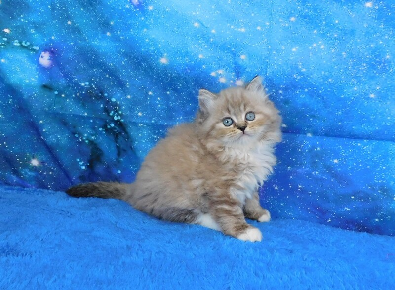Patrick - Male Ragdoll Kitten