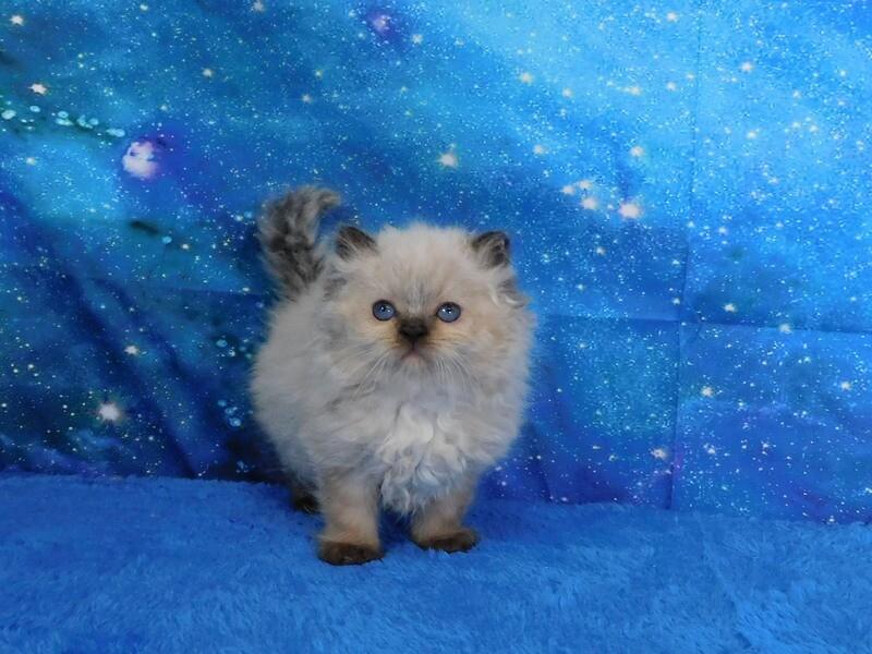 Wesley - Male Ragdoll Kitten