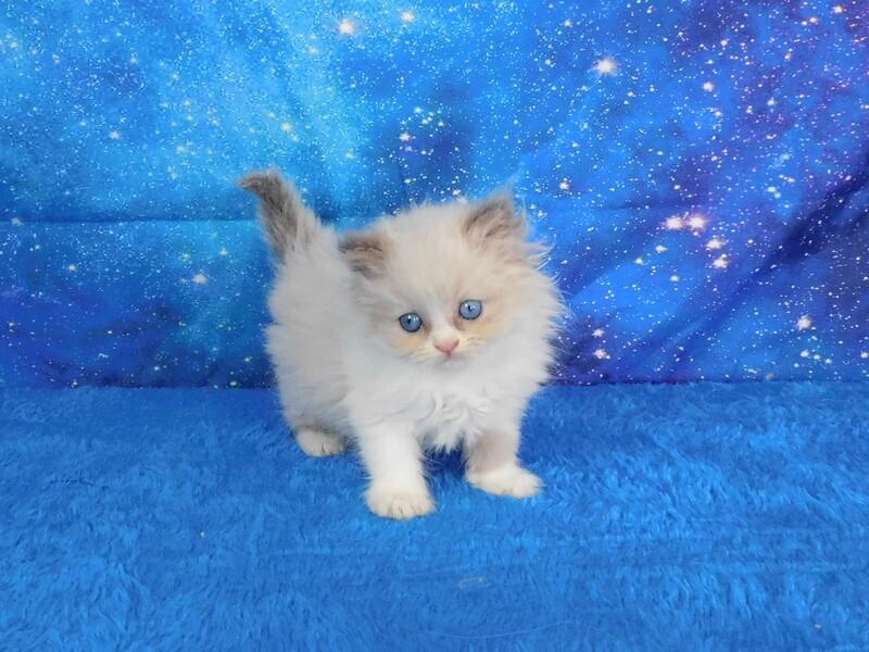 Gina - Female Ragdoll Kitten