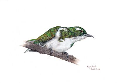 A4 Fine Art Print – Klaas's Cuckoo