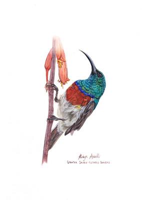A4 Fine Art Print – Greater Double-Collared Sunbird