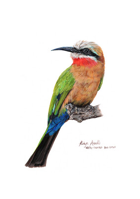 A4 Fine Art Print – White-fronted Bee-eater