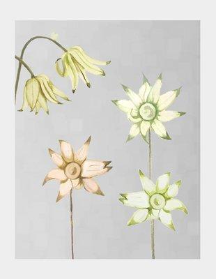 Art Print:  Flannel Flowers on Grey