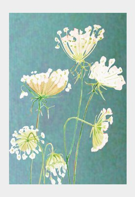 Art Print:  Queen Anne's Lace on Teal