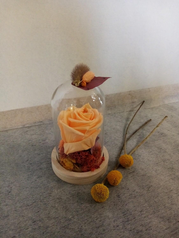 Rose éternelle orange sous cloche